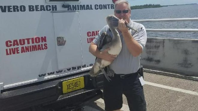 Vero Beach Animal Control Officer Scott Lee rescues an injured pelican from the Alma Lee Loy Bridge on Tuesday, Sept. 12, 2017 in Vero Beach.
