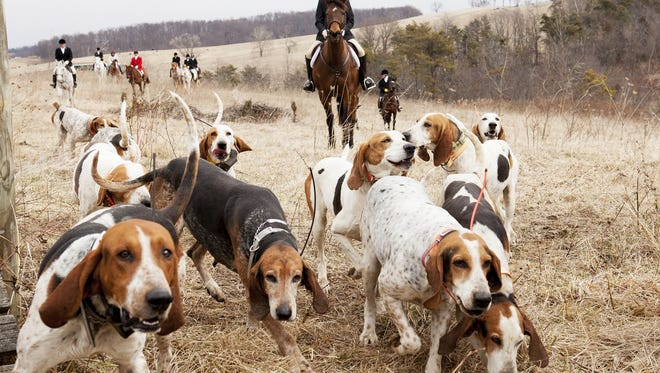 The hounds lead the riders of the Glenmore Hunt Club through a field on Feb. 2 in Staunton. Some days, finding a fox for the hound is easier than others ? wind, temperature and precipitation are all factors that affect the ability of the hound to pick up a fox?s scent. Katie Currid/The News Leader The hounds lead the riders of the Glenmore Hunt Club through a field on Saturday, Feb. 2, 2013, in Staunton. Most of the hunt clubs in the area us Penn-Marydel breeds, as well as Bluetick and Black and Tan foxhounds. The American Foxhound is the state dog of Virginia.