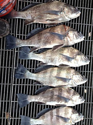 A limit plus one of black drum were caught by anglers fishing alongside Vero Beach's Mike Ricciardi at crowded Sebastian Inlet.