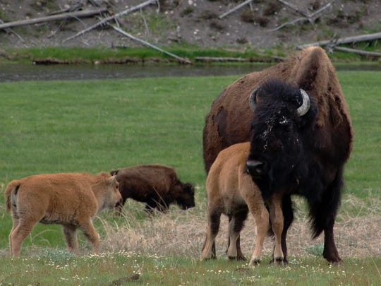 A bison calf nurses in a herd along the Madison River in Yellowstone National Park.