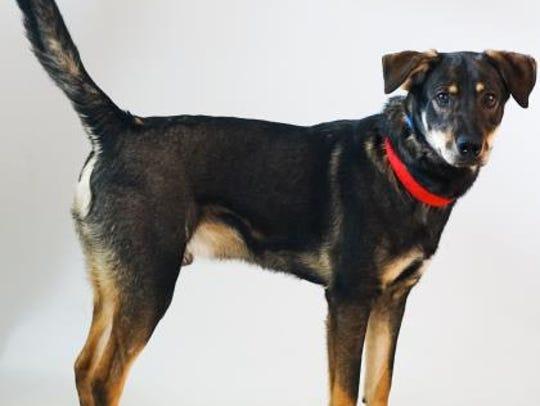 Featured pet: Hi, my name is Cowboy! I am a shepard/Alaskan