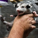 New Zealand pledges to eliminate rats, possums by 2050