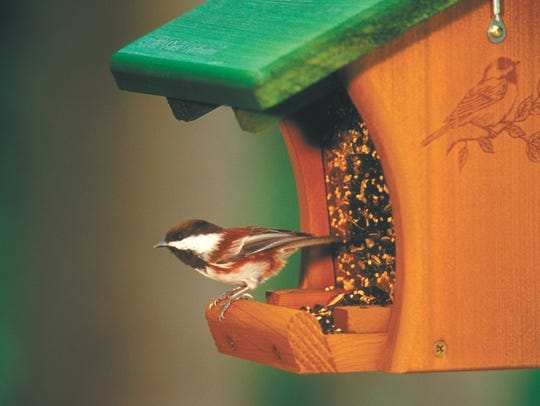 The black-capped chickadee is one of the two chickadee