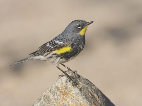Yellow-rumped warblers are one of the first warblers