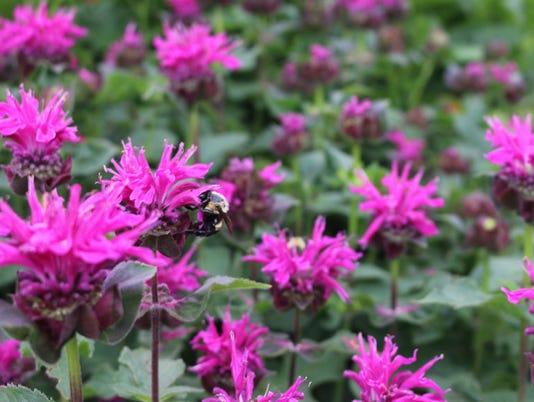 636609630083916175-IMG-1169-small-bee-on-beebalm.jpg