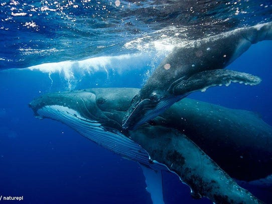 "A whale and a calf interact in ""Big Blue Live,"" a PBS"