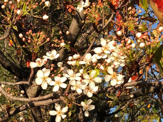 The pear trees blossomed early this January in Celeste Cantú's yard in western Riverside County.