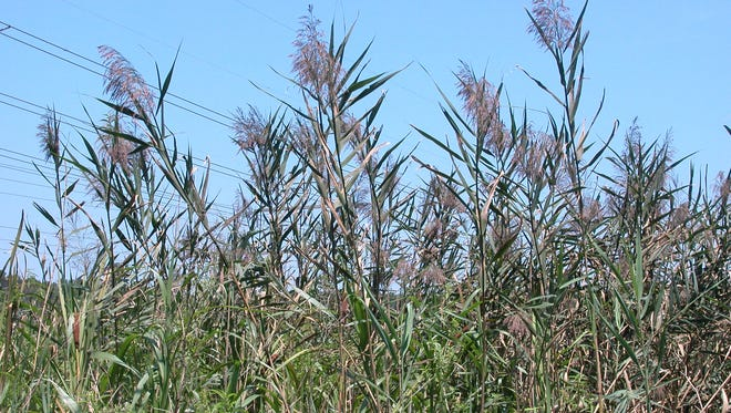 Common reed is a tall grass, capable of reaching 12 feet in height
