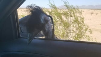 An emu on Interstate 10 in Arizona had to be wrangled by the Arizona Department of Public Safety and the Arizona Department of Agriculture on Oct. 21, 2016.