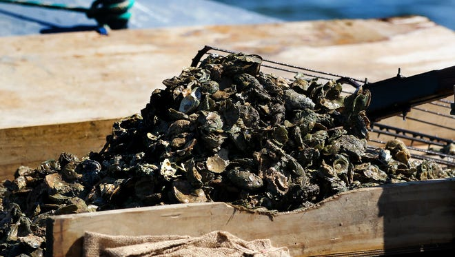 Oysters on the deck of a boat in Apalachicola Bay