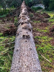The trunk of t he Hurricane Irma-felled monkey puzzle tree at Estero's Koreshan State Historic Site