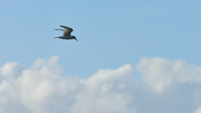 A tern flies above the East Hagåtña shoreline Tuesday afternoon.
