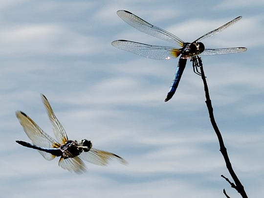 Dragonfly swarms were visible across Virginia during the evening on Sept. 16, 2019.
