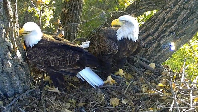 """Dad Decorah"" carves into the cottonwood tree while his partner looks in their new nest in a cottonwood tree."