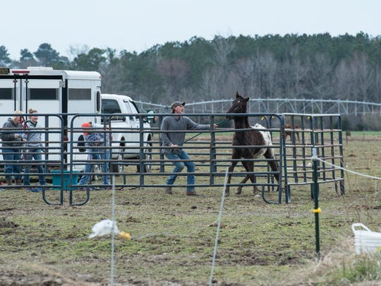 A man attempts to wrangle a horse at a farm on Cherry