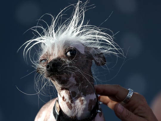 A Chinese Crested dog named Rascal looks on during