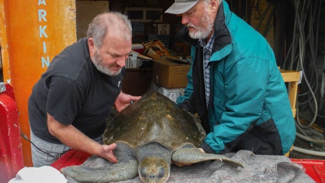 Manger, Keith Chandler, and Tom Theis moving the sea turtle inside.