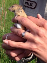 This June 2014 photo provided by the Fish and Wildlife Service shows former Bosque del Apache National Wildlife Refuge biologist Ashley Mertz formerly known as Inslee, holding a jumping mouse trapped during survey efforts on Bosque del Apache National Wildlife Refuge, N.M. The federal government is setting aside nearly 22 square miles across three western states as critical habitat for a rare mouse that has already pitted ranchers against the U.S. Forest Service in New Mexico.