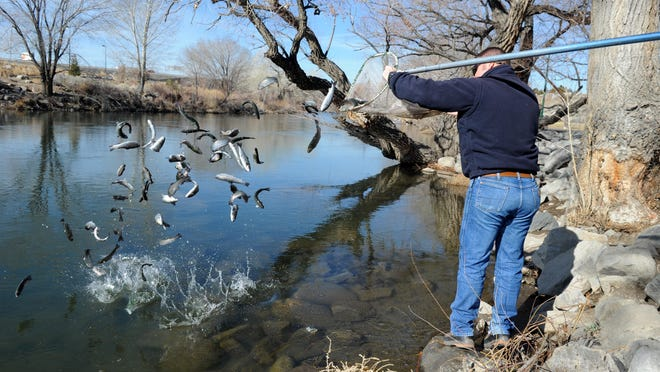 Aaron Keller of the Nevada Department of Wildlife throws a load of rainbow trout into the Truckee River in February 2014. Like last year, the department plans another early stocking in the river beginning next week in response to drought conditions.