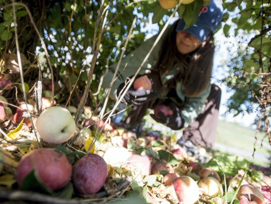 Joy Shaffer of Williamstown, N.J. gets on the ground on her search for apples at North Annville's Sycamore Spring Orchard Saturday.