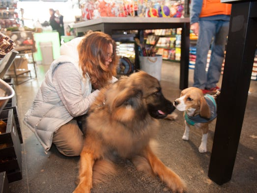 Wilbee Daniels, a 150-pound leonberger breed, meets