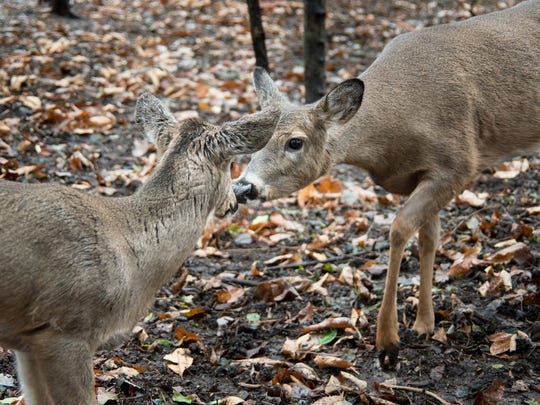 Baby and her new pen mate, a 2-year-old doe named Summer, greet each other this morning at the  E.L. Johnson Nature Center in Bloomfield Hills.