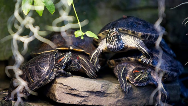 Turtles pile up at Lamberton Conservatory in Highland Park earlier this year. Special events and exhibitions of exotic plants are on display seven days a week, except Christmas Day.