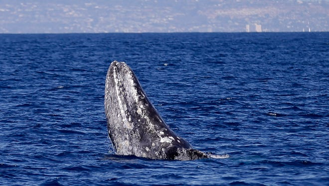 A gray whale breaches the surface during a whale watching trip off the coast of San Diego.