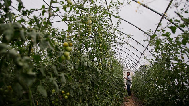 Angel Hernandez-Alejo of Mexico, trims cherry tomato plants in a greenhouse at Grinnell Heritage Farm in Grinnell on Tuesday, July 28, 2015. Owner Andrew Dunham started converting his families farm to organic when he took it over in 2006 and is now one of the biggest multi vegetable farms in Iowa.