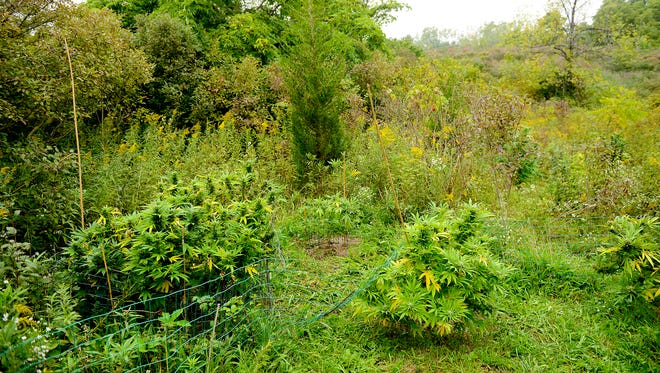 Authorities found multiple plots of an illegal marijuana grow operations Friday, Sept. 23, 2016, after searching an area off the I-96 on ramps to I-496 eastbound area, no body was discovered.
