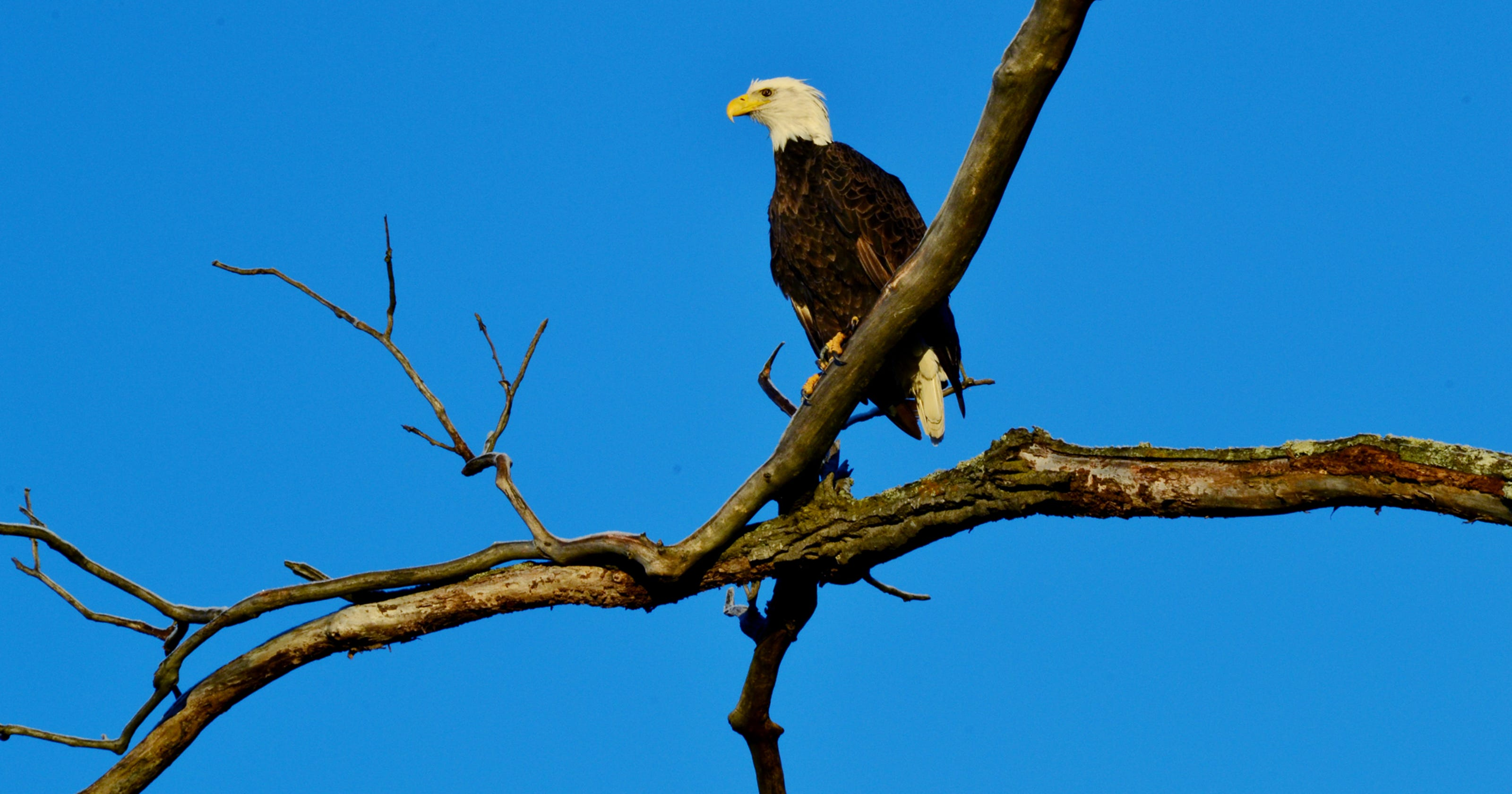 Ms  Cheap: Reelfoot Lake offers great eagle viewing