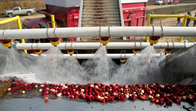 Cranberries are put through a wash and placed on a truck at Elm Lake Cranberry Company, Tuesday, Oct. 21, 2014.