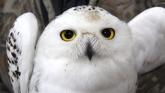A juvenile male snowy owl captured as part of Project
