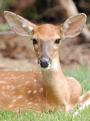 A fawn rests in the front yard of a Bull Shoals home in this 2001 file photograph. Bull Shoals, in 2001, was the first city in Arkansas to hold an urban hunt to curb an overabundance of deer. The hunt is still on.