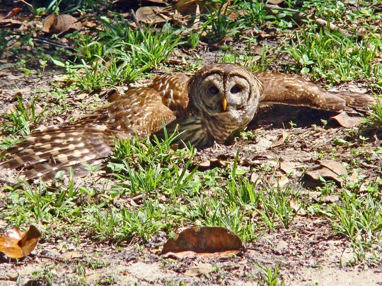 Even nocturnal creatures, like this barred owl, need the Vitamin D they get from sunbathing.
