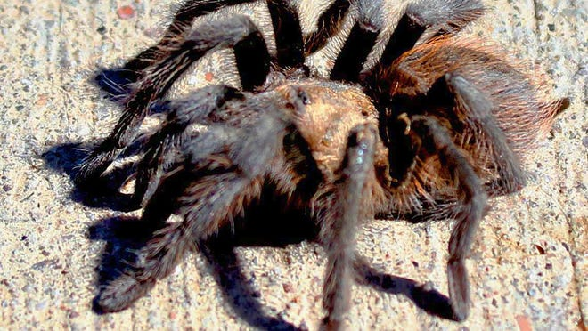 A male Oklahoma brown tarantula scampers across a driveway in search of a mate. This time of year the large spiders are on the move.