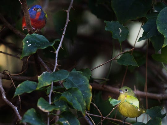 A male and female painted bunting photographed in Alva