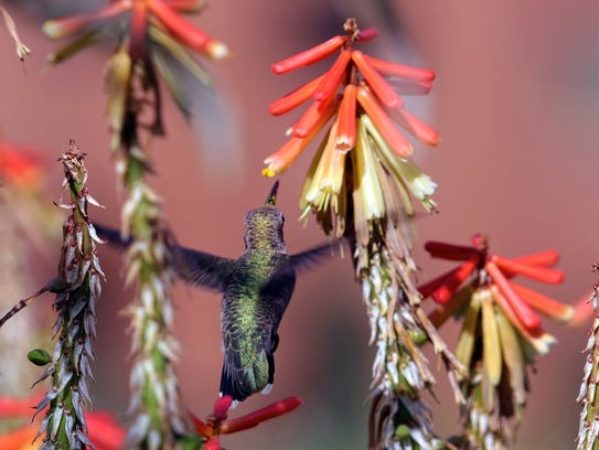This broadtail female hummer tends the blossoms of