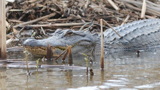 A 12-foot alligator mauled a man as he tried to secure and remove the injured animal from a highway.