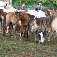 'Swamp cancer' afflicts 7 Chincoteague ponies