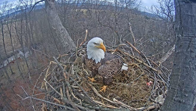 An eagle stands in the nest near Codorus State Park on January 26, 2017.