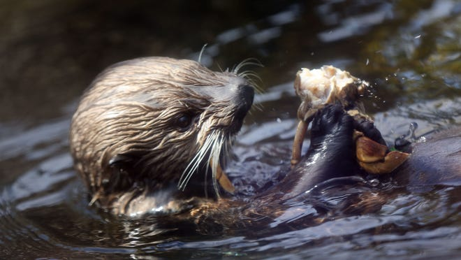 Crab for lunch. Two new sea otters add to the bounty of marine life at the Oregon Coast Aquarium in Newport.