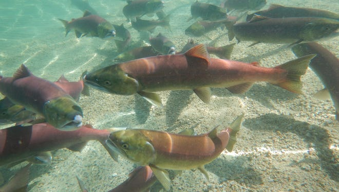 This Sept. 10, 2014 photo provided by the Idaho Dept. of Fish and Game shows a mixture of wild and hatchery-raised sockeye salmon released into Redfish Lake in central Idaho to spawn naturally.