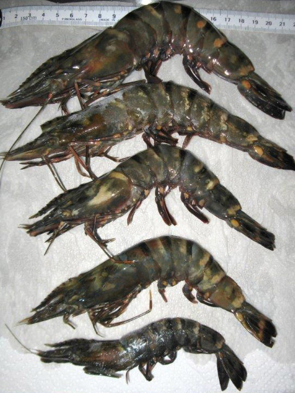 These tiger prawns were recently caught in Pensacola