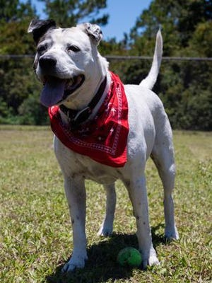 Cleo is a 10-year-old spayed female pointer mix.