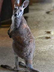 Lilly, a young red kangaroo, is among the residents