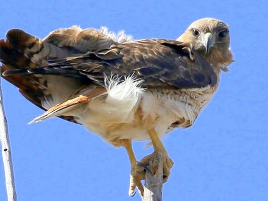 daves hawk closeup