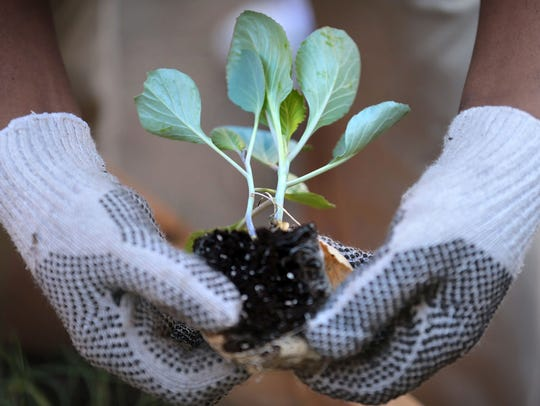 Planting in early spring and allowing new roots to grow and plants to become established before the hot summer arrives is helpful to a good start and survival of plants.