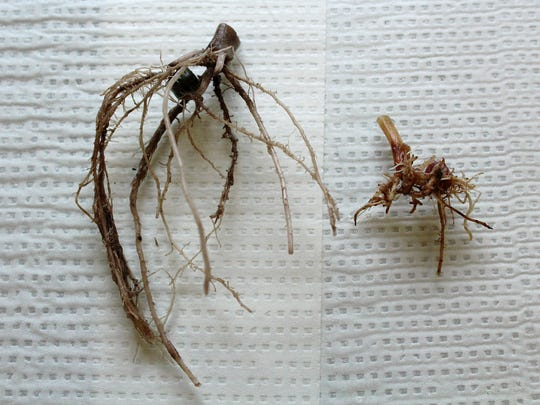 Corn plants affected by needle nematodes have short, knobby roots (right) compared with the fuller, more robust root system of healthy plants (left).