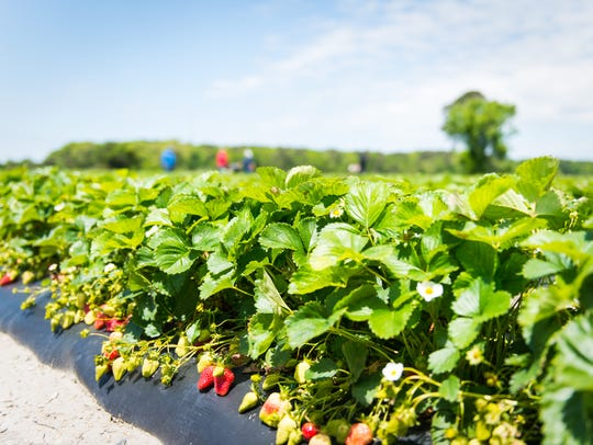 The strawberry fields at Magee Farms on Thursday, May